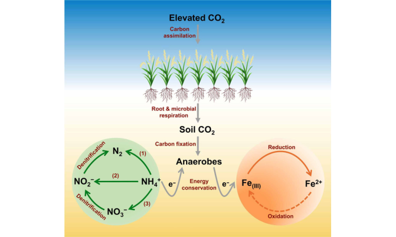 Large losses of ammonium-nitrogen from a rice ecosystem under elevated CO2