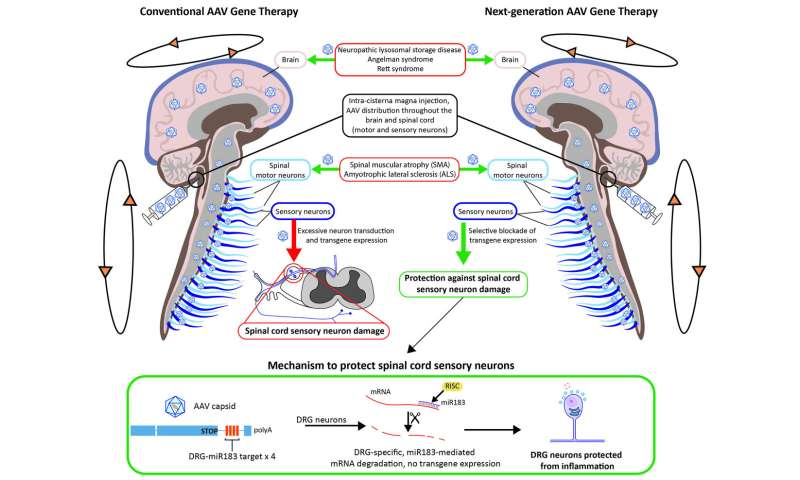 Penn researchers develop approach to prevent toxicity tied to neurological gene therapy