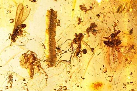 Clear temporal delimitations for amber, copal and resin aid in studies of biodiversity loss