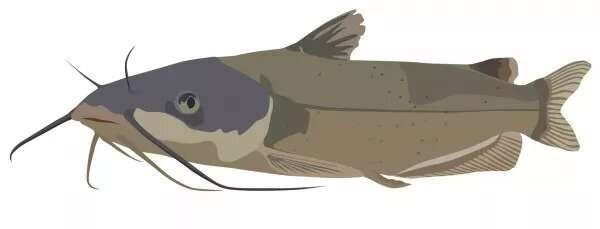 Linkage in catfish head could inspire new underwater robots