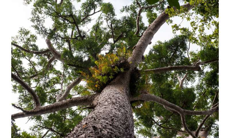 Fossils show 66 million years of insects eating kauri trees
