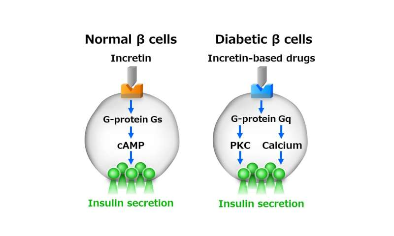 Signaling switch in pancreatic β-cells determines anti-diabetic drug effectiveness
