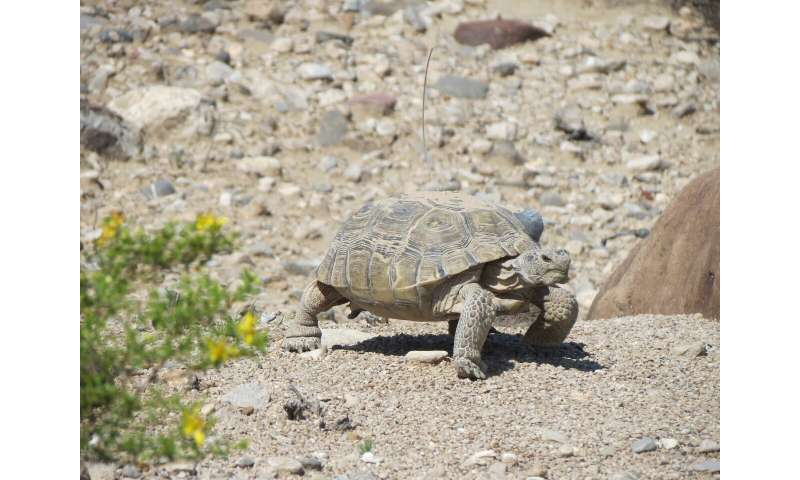 Study of threatened desert tortoises offers new conservation strategy