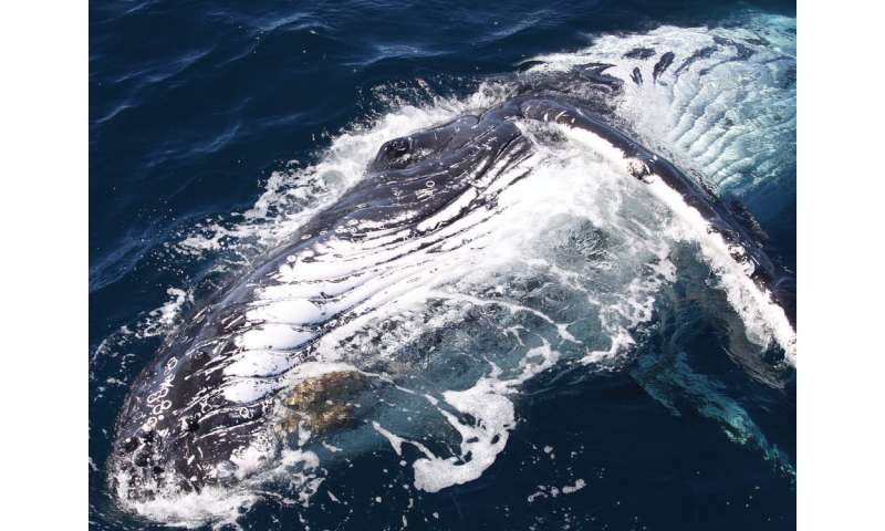 Humpback whales are adapting to warming water, but how much can they take?