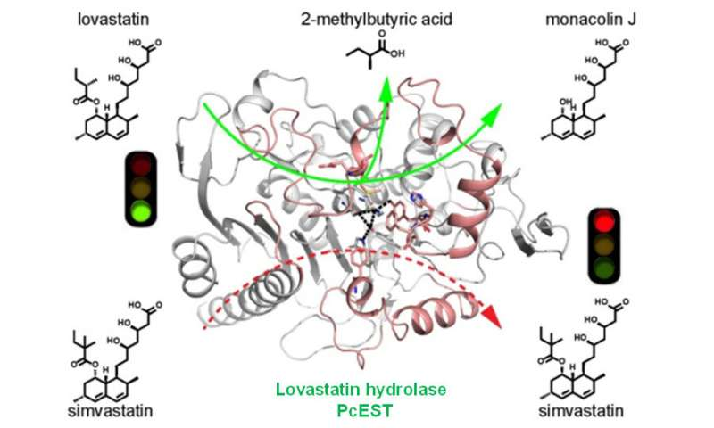Scientists reveal catalytic mechanism of lovastatin hydrolase