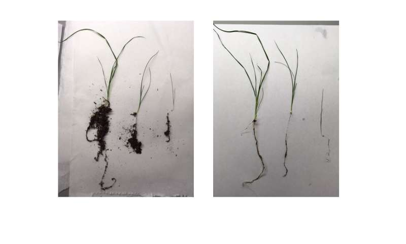 Scientists use bacteria to help plants grow in salty soil