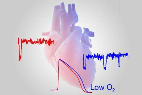 Study reveals how low oxygen levels in the heart predispose people to cardiac arrhythmias