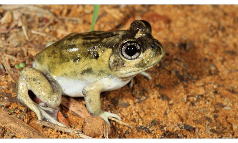 Study shows how Australia's burrowing frogs handle the heat