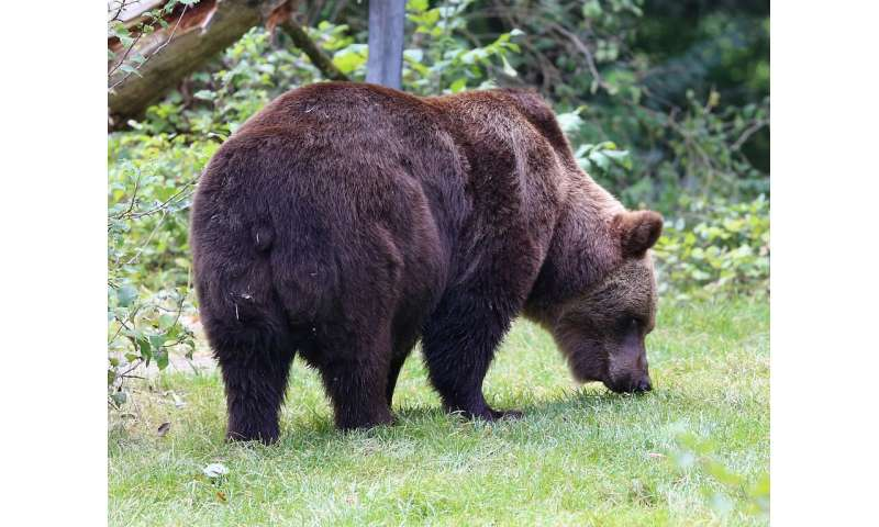 Understanding different brown bear personalities may help reduce clashes with people
