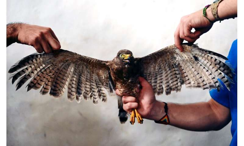 Veterinarians working for El Salvador's environment ministry hold a Roadside Hawk (Rupornis magnirostris) after performing a fea