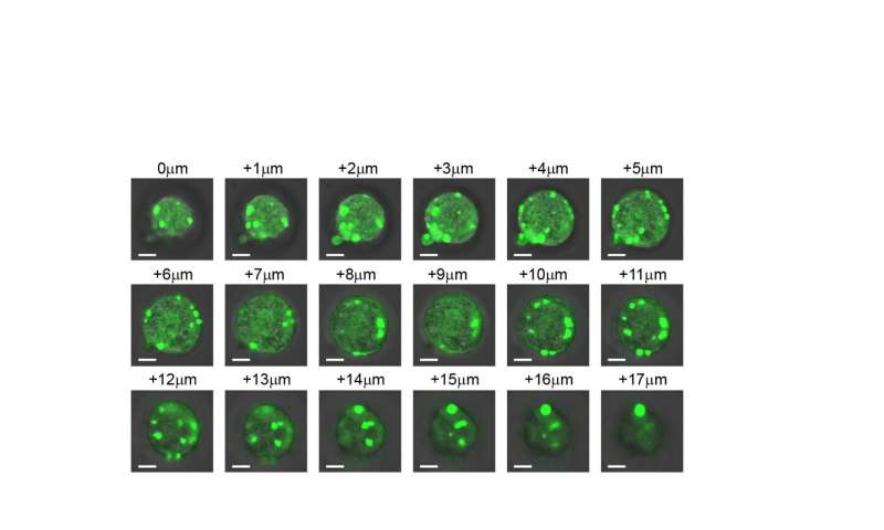 Researchers create artificial organelles to control cellular behavior