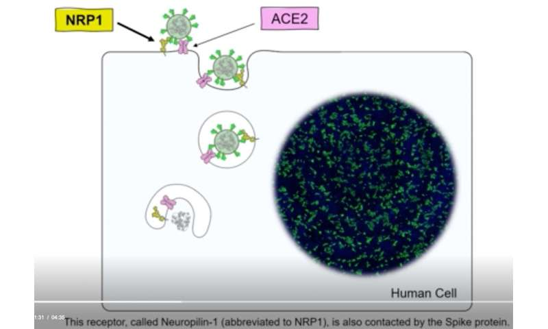 New understanding of the neuropilin-1 protein could speed COVID vaccine research