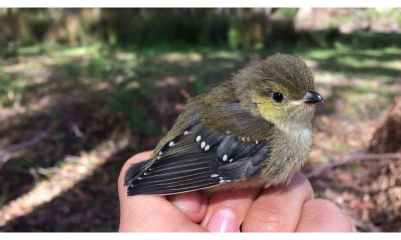 Researchers help endangered birds beat deadly parasite