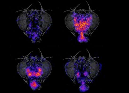 Researchers investigate neural mechanisms that coordinate complex motor sequences in fruit flies