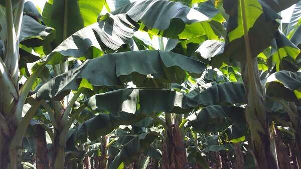 Study investigates eco-hydrological influence of banana plantations in Xishuangbanna