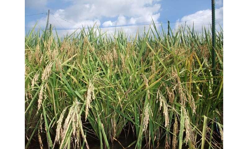 El cambio climático podría aumentar la producción de arroz