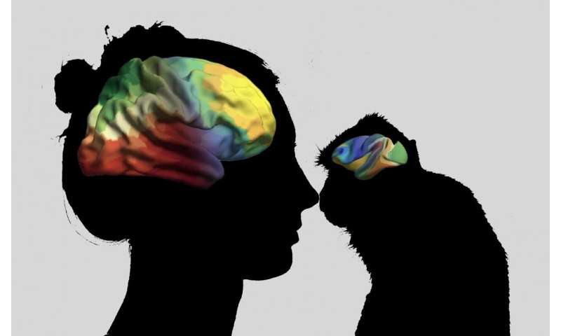 Evolutionary and hereditary axes shape our brains
