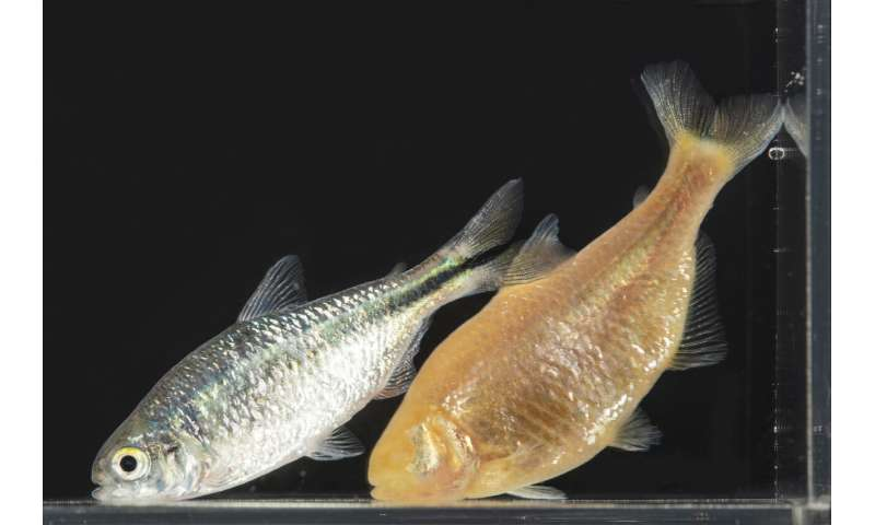 Immune system adaptations in cavefish may provide autoimmune disease insight