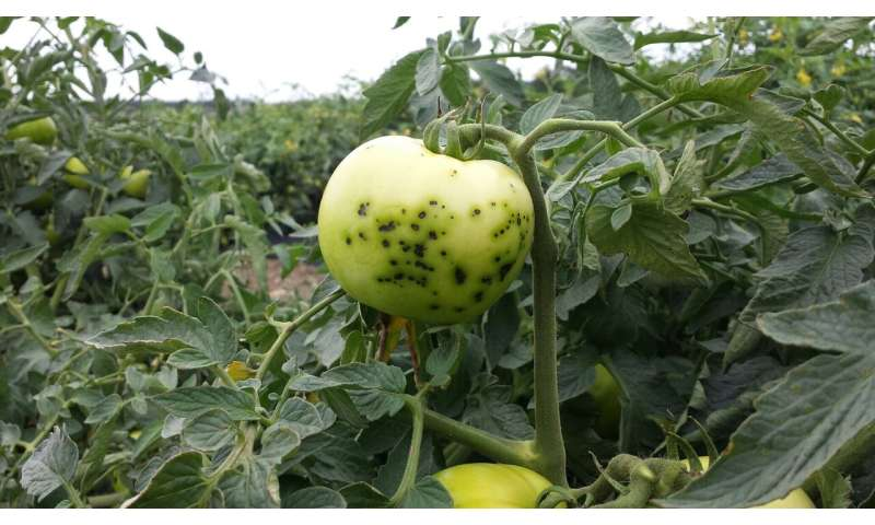 Newly identified gene grants tomatoes resistance to bacterial speck disease