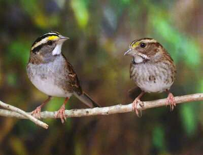 Study shows how a single gene drives aggression in wild songbird