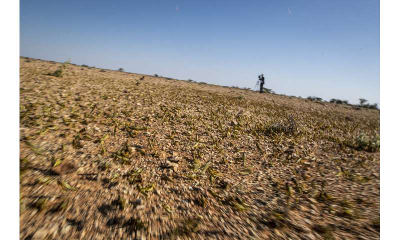 """Where it begins"": Young hungry locusts bulk up in Somalia"