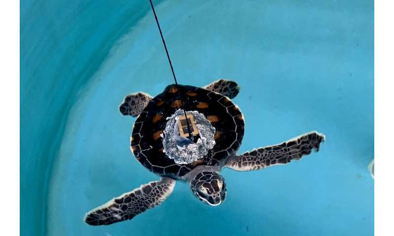 Researchers team up with U.S. Coast Guard to release three baby sea turtles