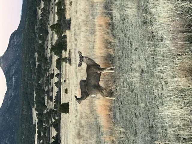 Researchers discover how vegetation thinning affects New Mexico mule deer population