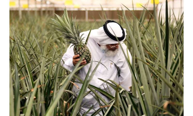 Abdellatif al-Banna is an independent farmer joining the innovation drive, growing pineapples in greenhouses using hydroponics a