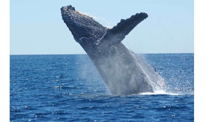 A better pregnancy test for whales