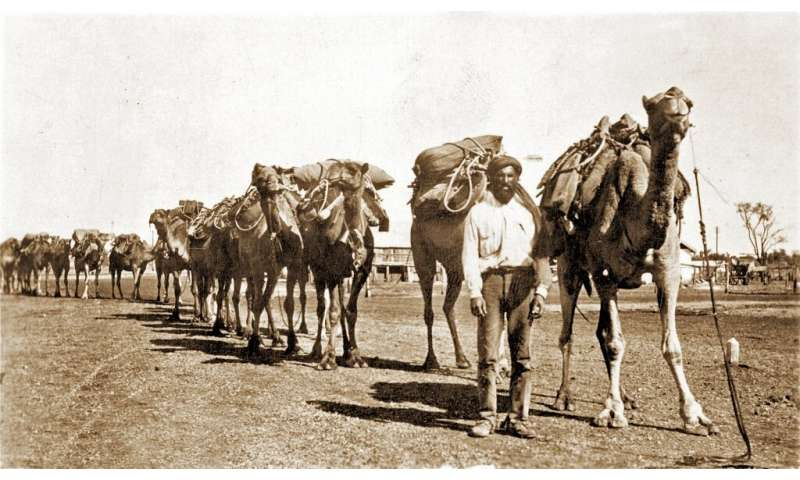 A cameleer sets off with his camel train to the Outback around 1910. Australia is now thought to have the largest wild camel pop