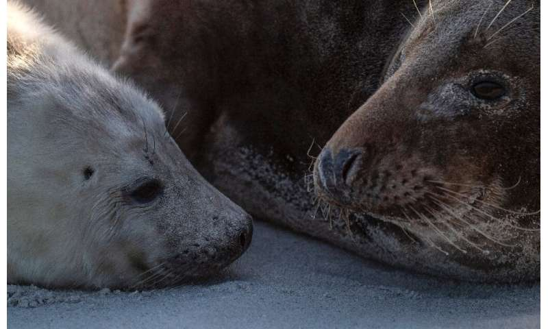 According to the Jordsand society, dedicated to preserving North Sea coastal life, more than 520 seals have been born on the isl