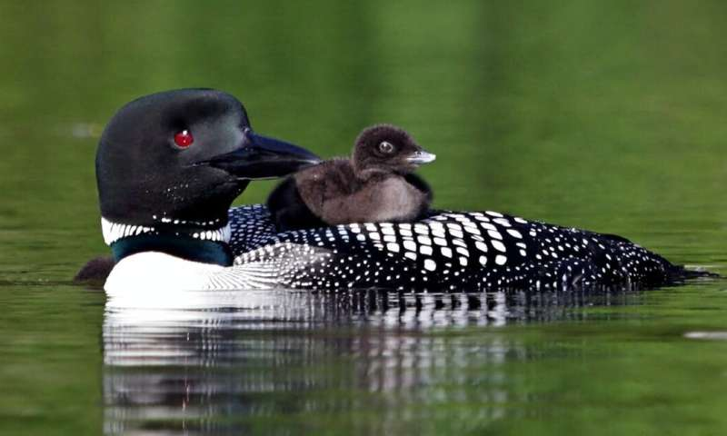Acid rain and mercury legacy decreases the number of loon chicks in Ontario lakes