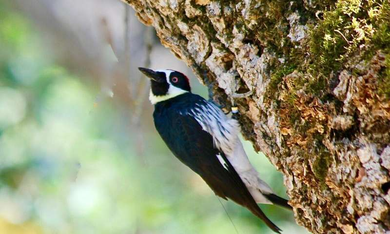 Acorn woodpeckers wage days-long battles over vacant territories, radio tag data show