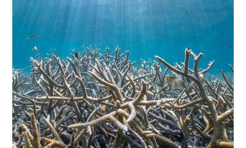 Acropora spp. coral still thrives in the holdout refuge of Coral Gardens, Belize
