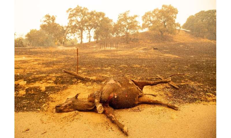 A dead cow lays in a smoldering field in Vacaville, California