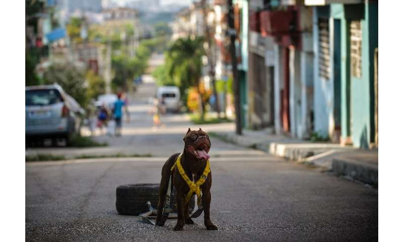 A dog is prepared for a canine beauty contest in Havana