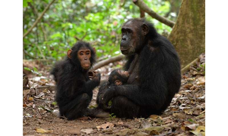 Adolescent Male Chimps Still Need Their Mamas