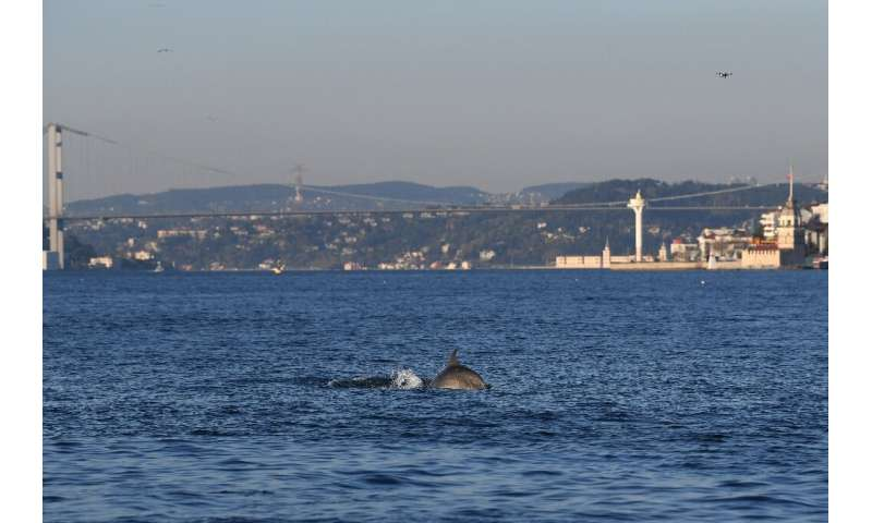 A dolphin swimming through Istanbul's unusually calm Bosphorus Strait