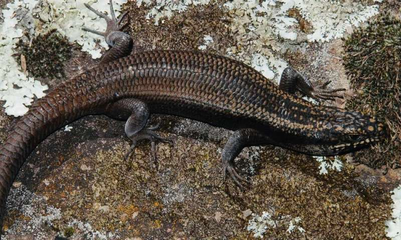 A few months ago, science gave this rare lizard a name – and it may already be headed for extinction