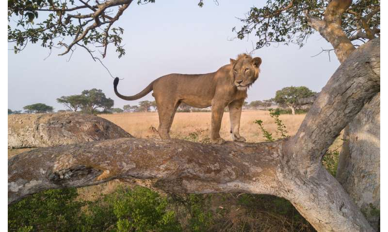 Conservation Africa News - African lion counts miss the mark, but new method shows promise
