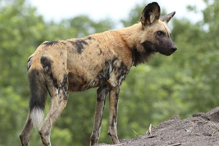 African wild dogs have vestigial first digit and muscular adaptations for life on the run