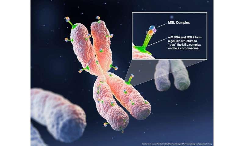 A gel for dosage compensation