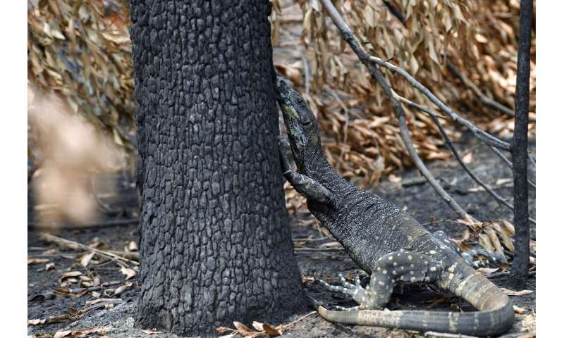 A goanna looking for food among charred trees after a bushfire in Budgong, New South Wales
