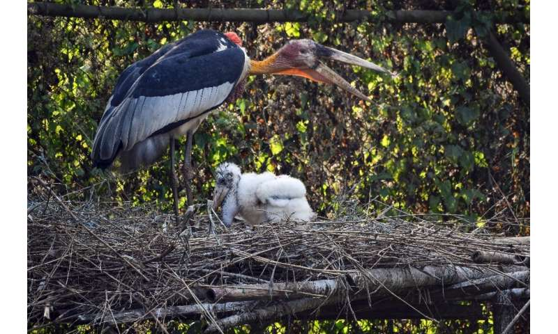 A greater adjutant stork and its chick on at Assam State Zoo in Guwahati. The hatching of two baby storks has raised hopes for t