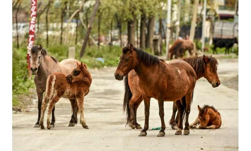 Табун лошадей замечен на пустынной дороге в жилом районе города Шринагар, штат Кашмир