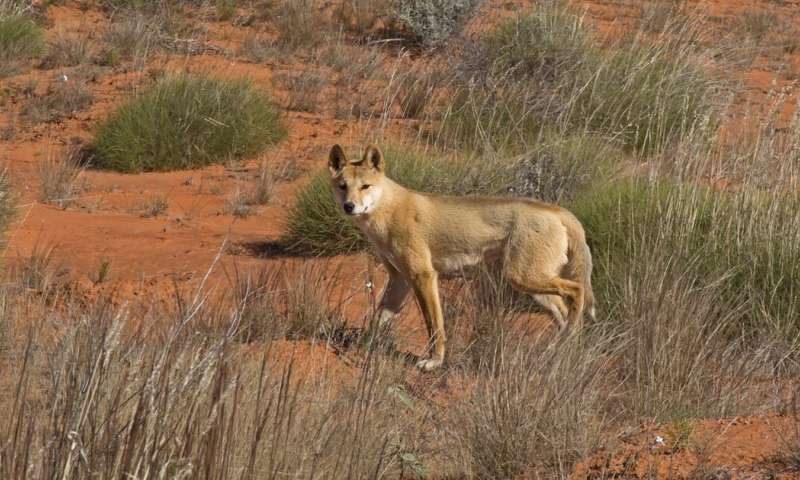 dog Air-dropping poisoned meat to kill bush predators hasn't worked in the past, and it's unlikely to help now