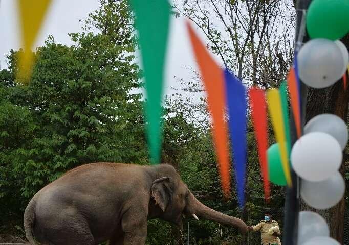A keeper feeds Kaavan treats ahead of his move to Cambodia