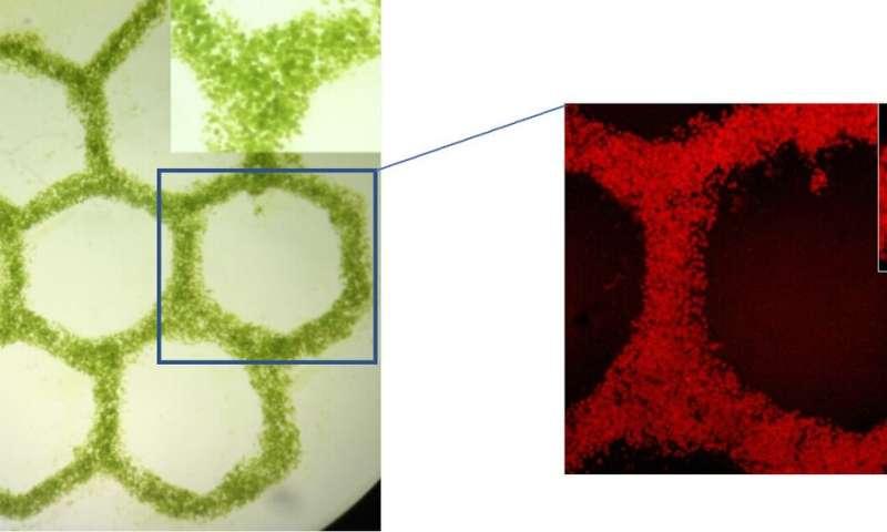 Algae breathe life into 3D engineered tissues