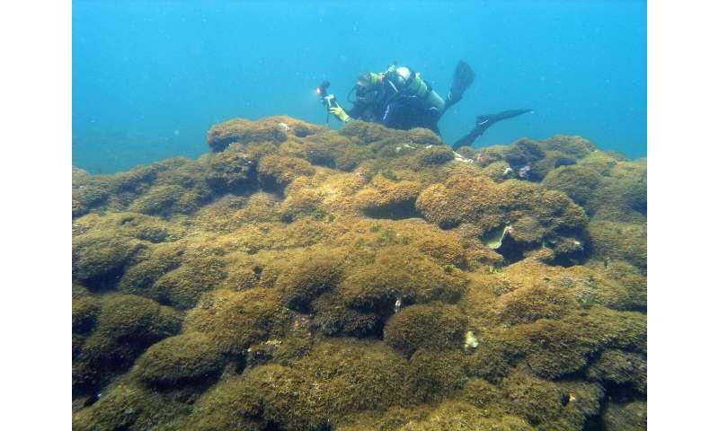 Algae species discovered infesting NW Hawaiian waters has been identified