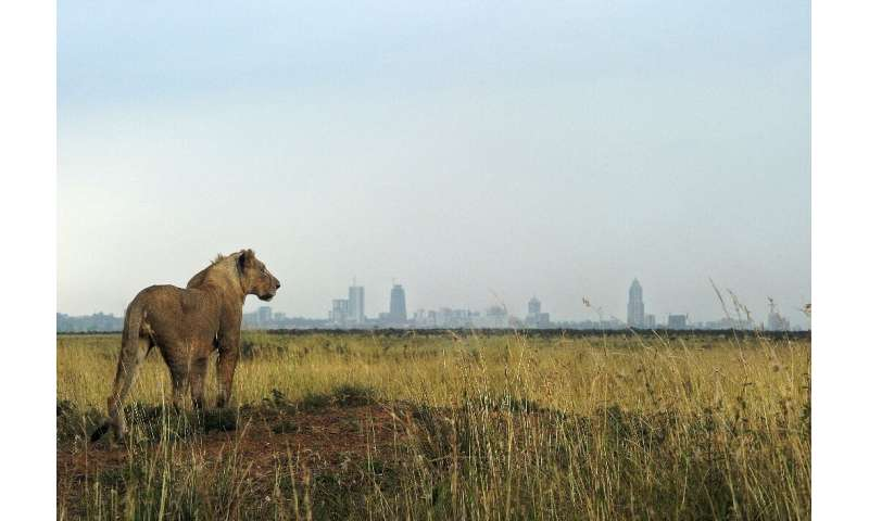 A lion looks towards the Nairobi skyline  - the Living Planet Index warns that continued natural habitat loss increased the risk